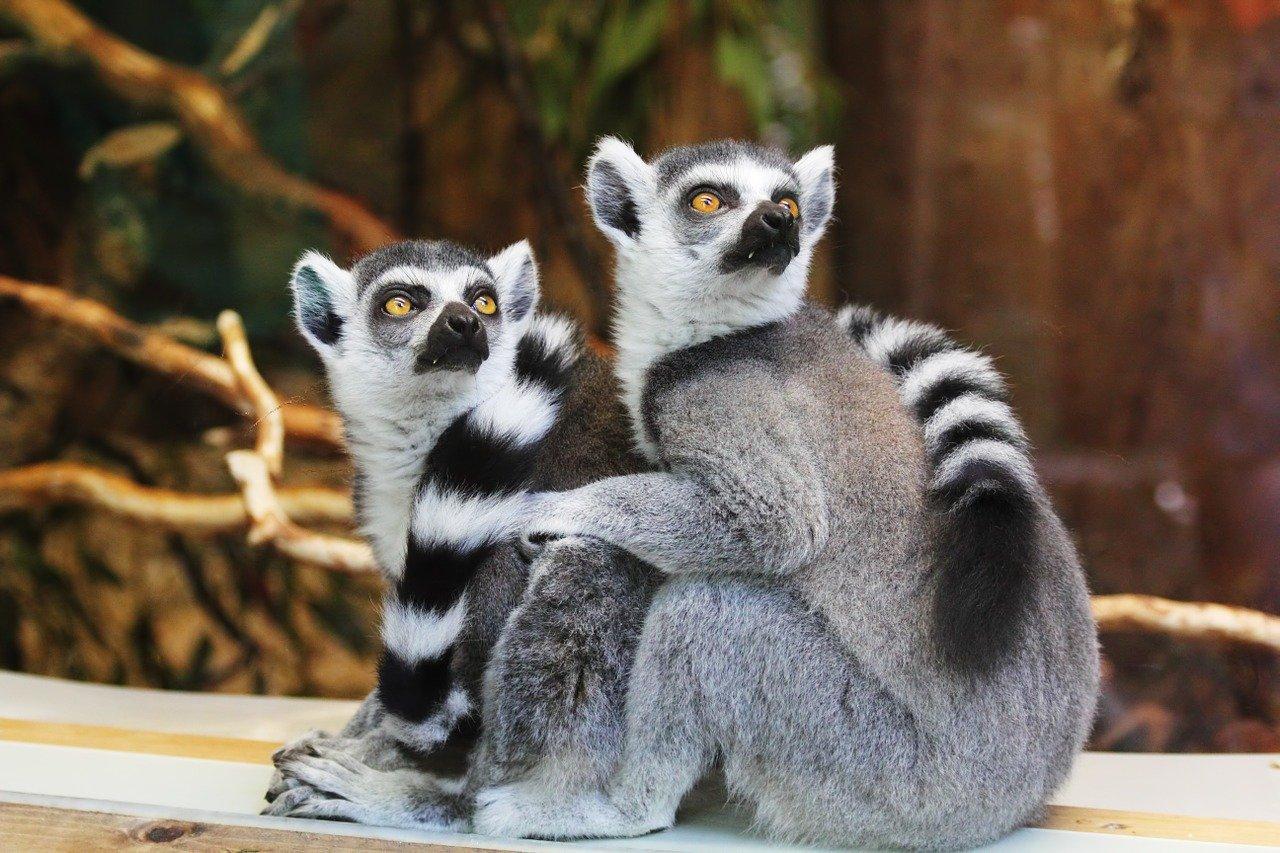 lémuriens endémiques